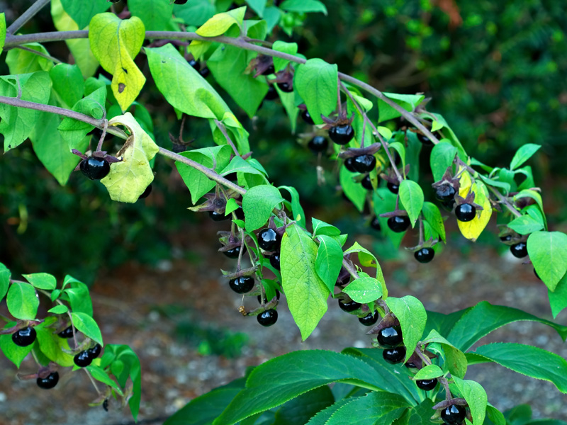 The Healing Powers Of Deadly Nightshade Pry House Medicinal